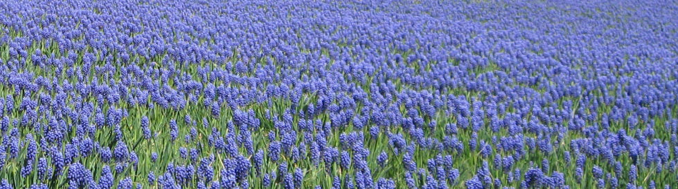 Field of blue flowers for front page